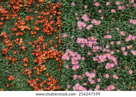 two colors chrysanthemum flowers wall - stock photo