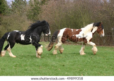 two coloured horses in the pature - stock photo