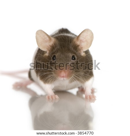 Two-coloured panda rat in front of a white background