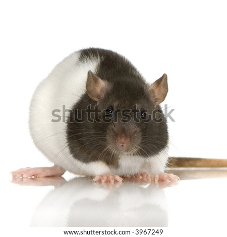 Two-coloured panda rat in front of a white background - stock photo
