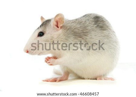 Two-coloured rat in front of a white background