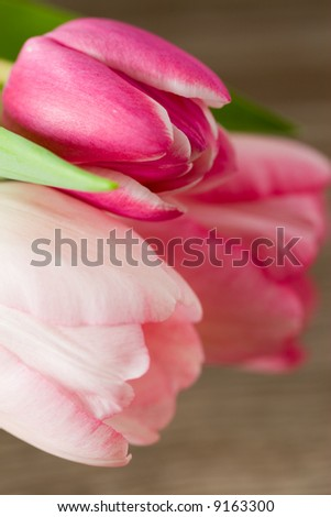 two coloured tulips on a wooden background