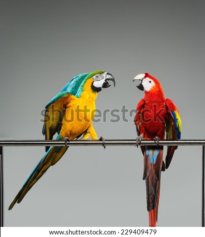 Two colourful parrots fighting  on a perch - stock photo