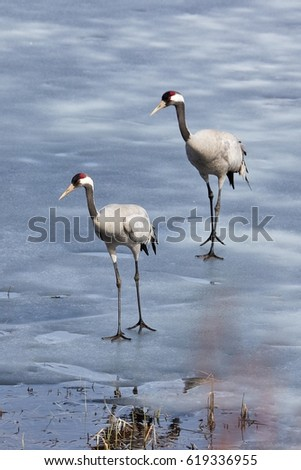 Two common cranes walking on the ice of a frozen water in early spring.