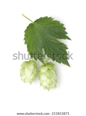 two cone of hops with green leaf on white background