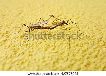 Two copulating mosquito
