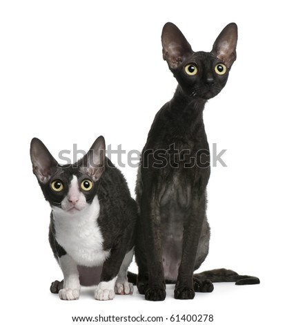 Two Cornish Rex cats, 7 months old, sitting in front of white background