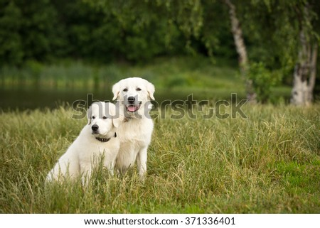 two couple Young puppy and adult Maremma Sheepdog big white dog sitting on green grass at forest background outdoor - stock photo