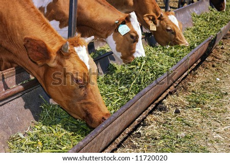 Two cow eat grass - stock photo