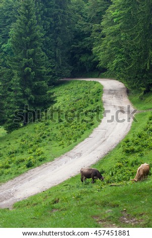 Two cow on mountain pasture - stock photo