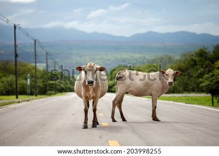 two cow on the road - stock photo