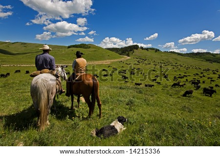 Two cowboys and there dog working with a large herd of cattle - stock photo
