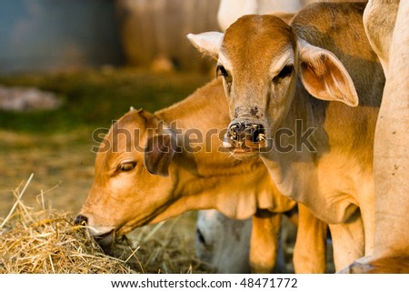 Two cows are eating rice straw. - stock photo