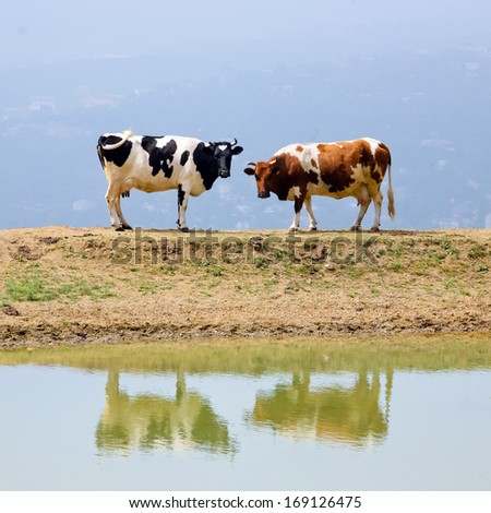 Two cows are reflecting in the lake - stock photo