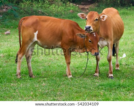 Two cows are standing together on a  meadow