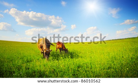 Two cows baby and mother grazing on a green meadow. Distorted horizon version - stock photo