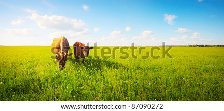 Two cows baby and mother grazing on a meadow. - stock photo