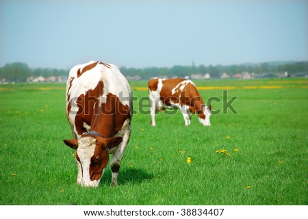 Two cows eating grasses - stock photo