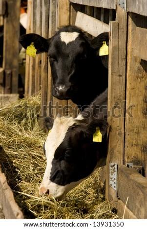 Two cows feeding hay in a farm - stock photo