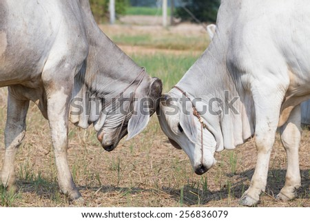 two cows fighting  againsta pasture - stock photo