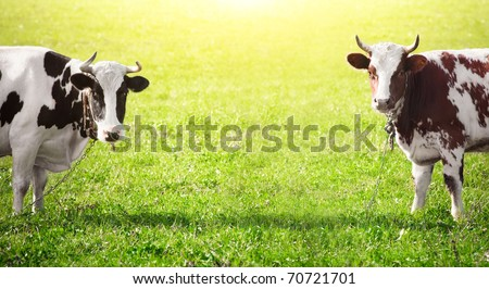 Two cows graze on green meadow - stock photo