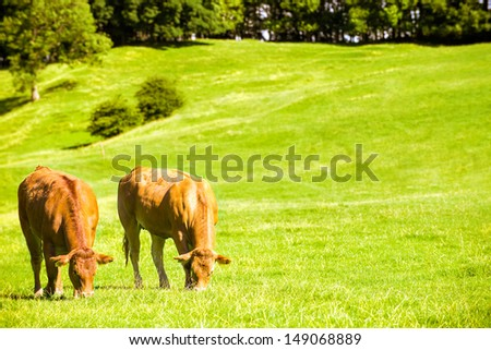 Two cows grazing in lush farm meadow - stock photo