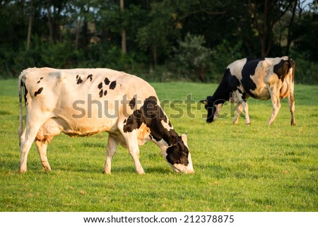 Two cows grazing in meadow in Netherlands - stock photo