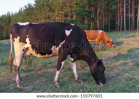 Two cows grazing in meadow near pine forest