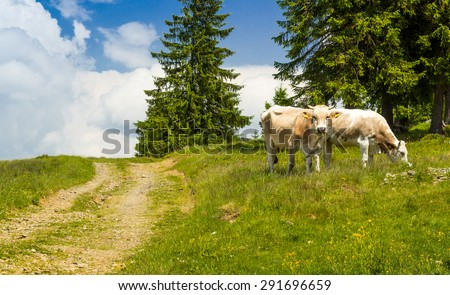Two cows  grazing on a green meadow - stock photo