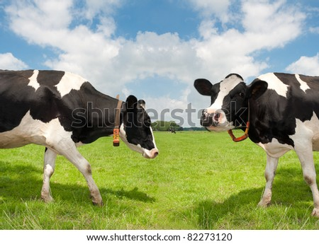 two cows in a dutch meadow - stock photo