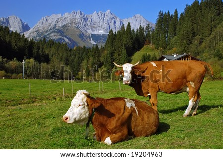 Two cows on Austrian alps - stock photo