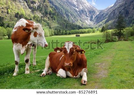 Two cows on the Alpine mountain pasture, in Austria - stock photo