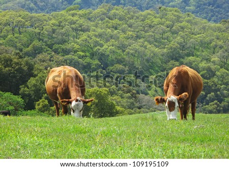 Two cows standing on a grassy hill. Taken at Sunol regional wilderness - stock photo