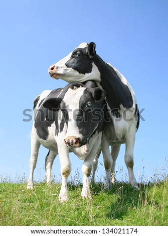 Two cows standing on seawall
