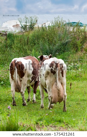 two cows with a large udder rear view - stock photo