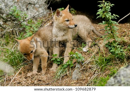 Two Coyote pups explore the world outside their den in Yellowstone National Park - stock photo