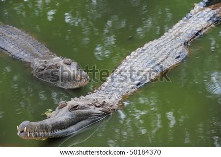 Two Crocodile in River - stock photo
