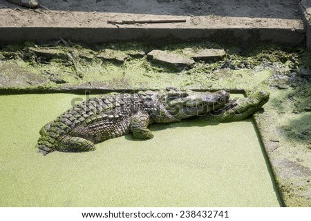 Two crocodiles in pond. - stock photo