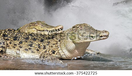 Two crocodiles lying together under stream of water. - stock photo