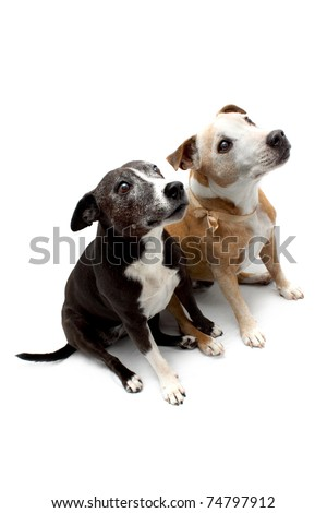 Two cross bred Staffordshire Terrier dogs sitting side by side - stock photo