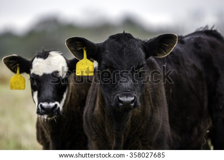 Two crossbred calves with yellow ear tags looking at the camera - stock photo