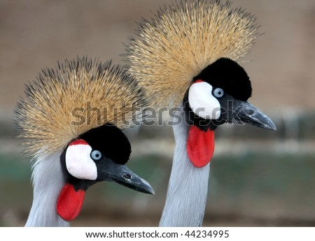 Two crowned crane birds with golden crowns and blue eyes