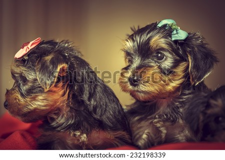 Two curious cute Yorkshire terrier dog puppies with head fur tied with colorful bows laying on red blanket. Shallow depth of field. - stock photo