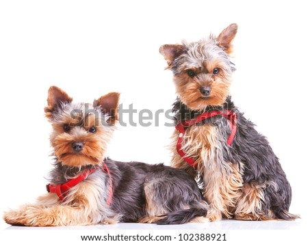 two curious little yorkshire puppy dogs looking at the camera - stock photo