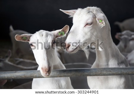 two curious white goats look over bars of stable - stock photo