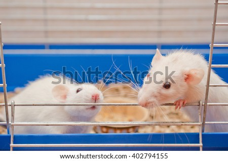 Two curious white rats looking out of a cage (selective focus on the rat on the left) - stock photo