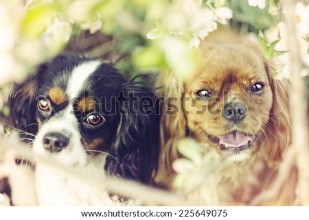 two cute and funny cavalier king charles spaniel dog and puppy - stock photo