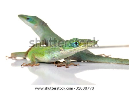 Two cute anole lizards against a white background. Shallow depth of focus.