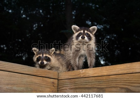 Two cute baby raccoons on a wooden deck at night