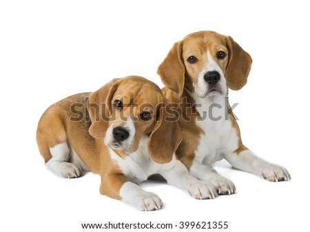 two cute beagle dog isolated on white background - stock photo